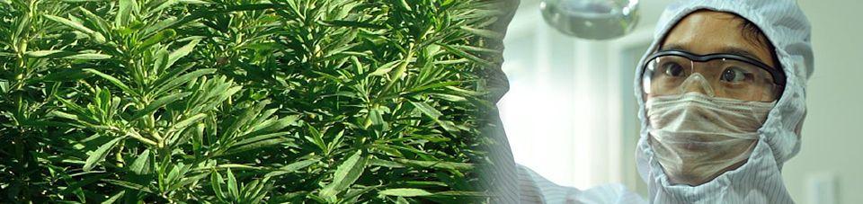 Stevia Thailand